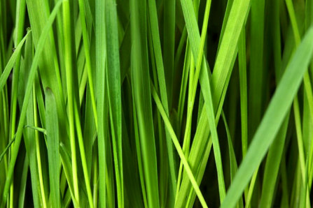 gerstengras wirkung Chlorophyll pulver jomu