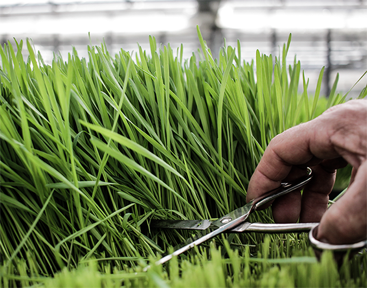 Bio Weizengras frisch geschnitten