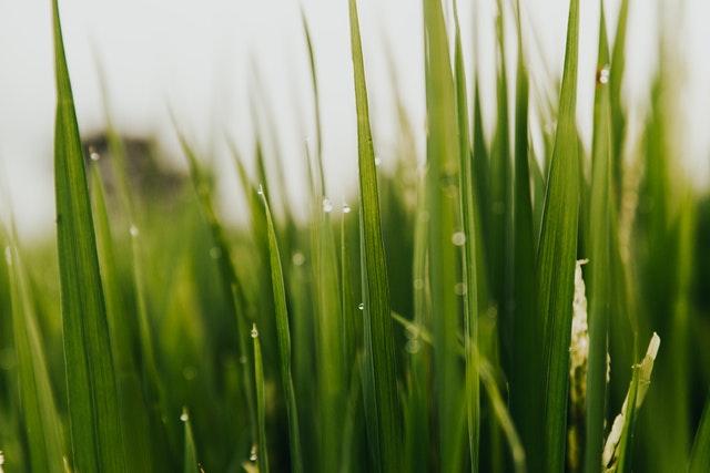 Gerstengras Weizengras