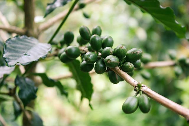 Grüner Kaffee ungesund0