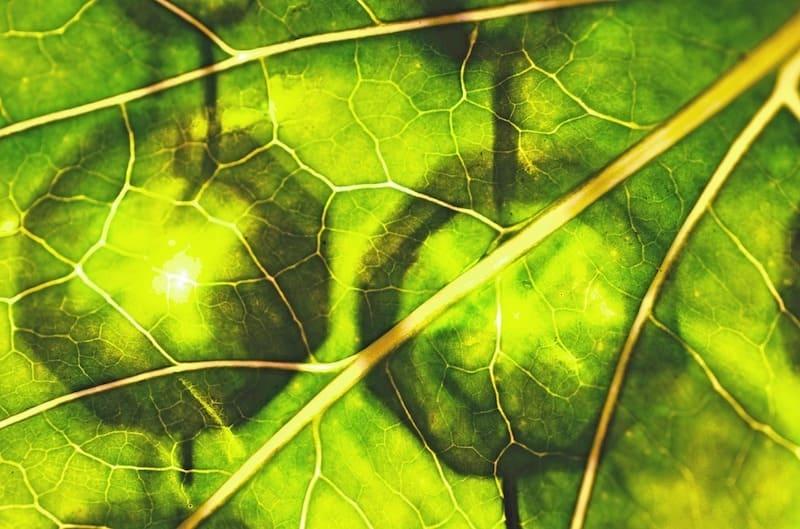 Chlorophyll-MAWEJU-vidaphyll