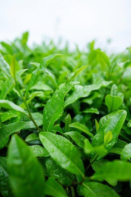Matcha Tee Wirkung Herkunft Blatt