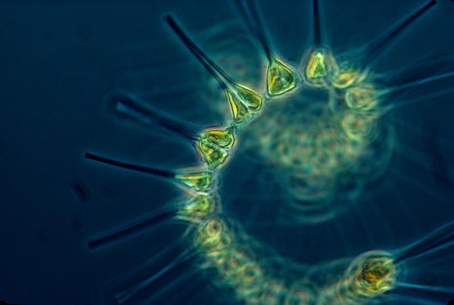 marine phytoplankton